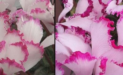 花びらの比較